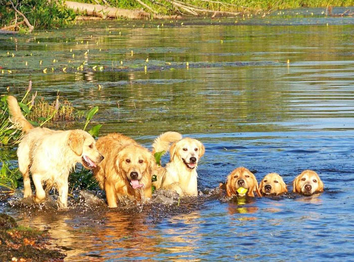 tangleloft golden retrievers