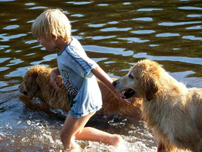 Golden Retriever Breeders Massachusetts Tangleloft Golden Retrievers summerintro